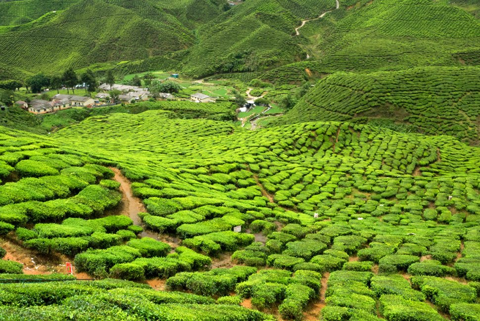 Tea plantations at Cameron Highlands