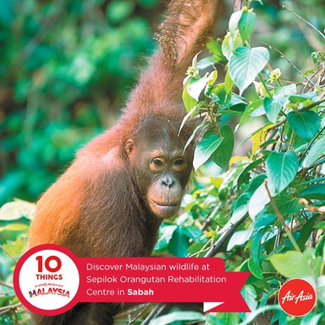 Discover Malaysian wildlife at Sepilok Orangutan Rehabilitation Center in Sabah